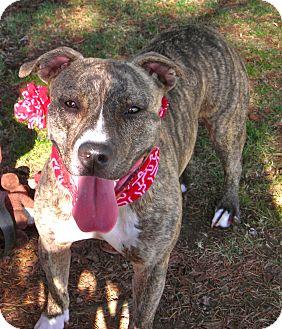 American Pit Bull Terrier Mix Dog for adoption in El Cajon, California - B.B.