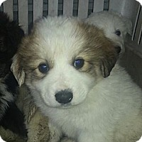 Adopt A Pet :: Collie/Pyrenees (ADOPTED) - Chicago, IL