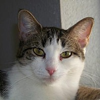 Adopt A Pet :: Taco - Glendale, AZ