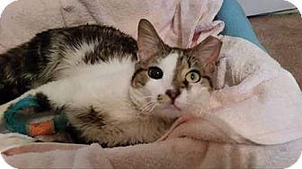 Domestic Shorthair Cat for adoption in Philadelphia, Pennsylvania - Jude