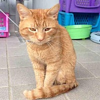 Domestic Mediumhair Cat for adoption in Canfield, Ohio - PATRICK