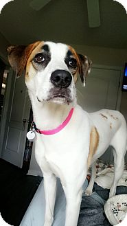 Foxhound/Mixed Breed (Medium) Mix Dog for adoption in Knoxville, Tennessee - Tori