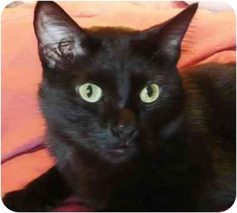 Domestic Shorthair Cat for adoption in Chicago, Illinois - Coral