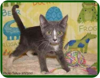 Domestic Shorthair Kitten for adoption in Orlando, Florida - Hamilton