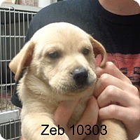 Adopt A Pet :: Zeb - Greencastle, NC