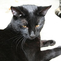 Domestic Shorthair Cat for adoption in Naples, Florida - Marvin