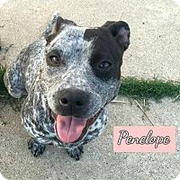 Adopt A Pet :: PENELOPE - Plano, TX