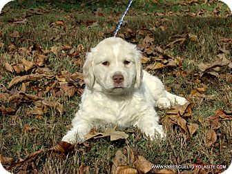 Clumber Spaniel/Labrador Retriever Mix Puppy for adoption in Waterbury, Connecticut - MIKEY/ADOPTED