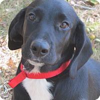 Adopt A Pet :: Astro- reduced for Christmas! - Harrisonburg, VA