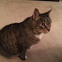 Adopt A Pet :: Vespa - Harrison, NY