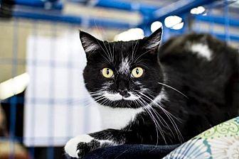 Domestic Shorthair Cat for adoption in Newaygo, Michigan - PERSIA