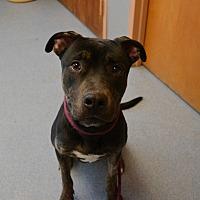 Adopt A Pet :: Shadow - Bay Shore, NY