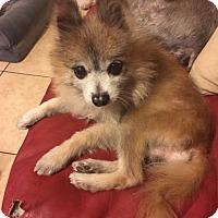 Adopt A Pet :: Sid - Windermere, FL