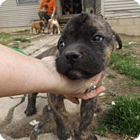Adopt A Pet :: ozzie - Zaleski, OH