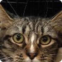 Domestic Mediumhair Cat for adoption in Jacksonville, North Carolina - Donnie