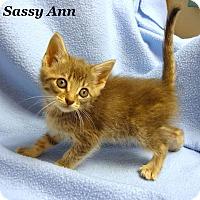 Adopt A Pet :: Sassy Ann - Bentonville, AR
