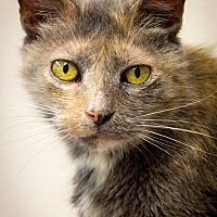 Calico Cat for adoption in Belton, Missouri - Brielle