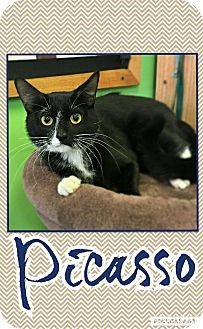 Domestic Shorthair Cat for adoption in Edwards AFB, California - Picasso