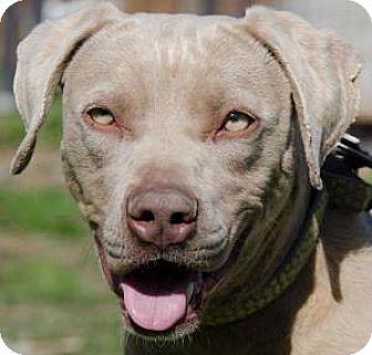 Labrador Retriever Mix Dog for adoption in Midlothian, Virginia - Sage