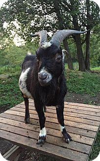 Goat for adoption in Maple Valley, Washington - Chewbaca & Kato