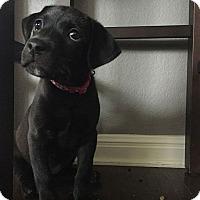 Adopt A Pet :: Mazzy - Austin, TX