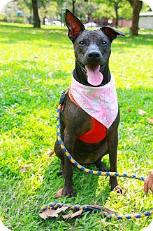Labrador Retriever/Bulldog Mix Dog for adoption in Castro Valley, California - Freya