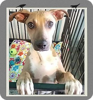 Shar Pei Mix Puppy for adoption in Apache Junction, Arizona - Mocha
