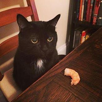 Domestic Shorthair Cat for adoption in New York, New York - Kuz