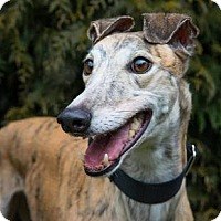 Adopt A Pet :: Tote - Seattle, WA