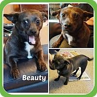 Adopt A Pet :: BEAUTY - Malvern, AR