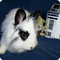 Adopt A Pet :: Cottontail - Alexandria, VA
