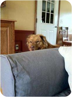 Nova Scotia Duck-Tolling Retriever/Golden Retriever Mix Dog for adoption in New Boston, New Hampshire - Reno