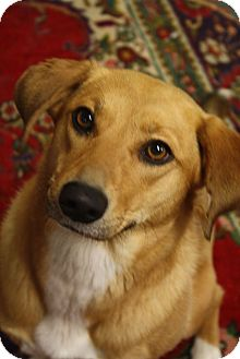 Shepherd (Unknown Type)/Labrador Retriever Mix Dog for adoption in Homewood, Alabama - Scottie