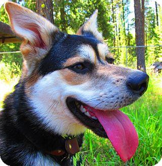 Siberian Husky Mix Dog for adoption in Libby, Montana - Bandit