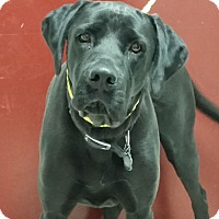 Adopt A Pet :: Ruger - Greeley, CO