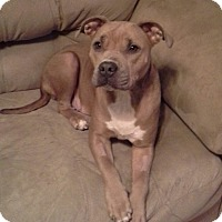 Pit Bull Terrier Mix Dog for adoption in chicago, Illinois - Petunia