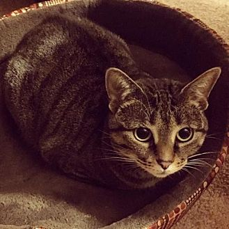 Domestic Mediumhair Cat for adoption in Hampton, Virginia - Chica (Courtesy Listing)