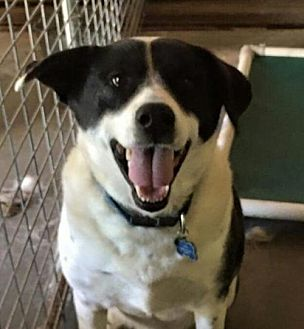 Border Collie/Hound (Unknown Type) Mix Dog for adoption in Thomasville, North Carolina - Ralphie