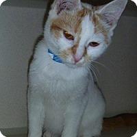 Adopt A Pet :: Sandman - Hamburg, NY
