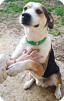 Hound (Unknown Type)/Shepherd (Unknown Type) Mix Dog for adoption in Fredericksburg, Virginia - Banjo