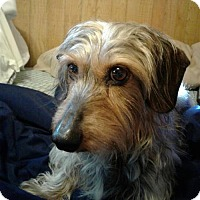 Dachshund Dog for adoption in Jacksonville, Florida - Charley