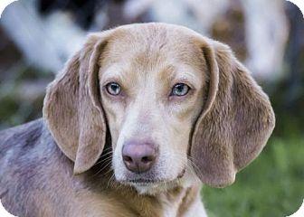 Beagle Dog for adoption in El Cajon, California - Shyla