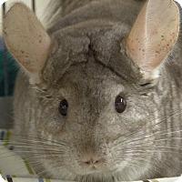 Adopt A Pet :: CHAPULLA - Boston, MA