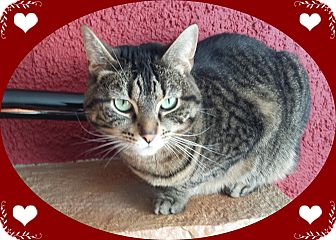 Domestic Shorthair Cat for adoption in Mt. Prospect, Illinois - Sophie