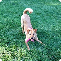 Chow Chow/German Shepherd Dog Mix Dog for adoption in Baltimore, Maryland - Ruby - ON HOLD - NO MORE APPLICATIONS!