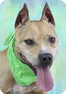 Staffordshire Bull Terrier Mix Dog for adoption in Cincinnati, Ohio - Chad