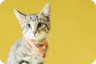 Domestic Shorthair Kitten for adoption in Cincinnati, Ohio - Litten