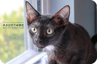 Domestic Shorthair Cat for adoption in Edwardsville, Illinois - Mary