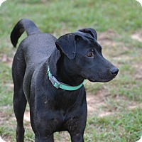 Labrador Retriever/Hound (Unknown Type) Mix Dog for adoption in Shaw AFB, South Carolina - Candy