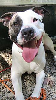 Pit Bull Terrier Mix Dog for adoption in Pittsburgh, Pennsylvania - Jacks